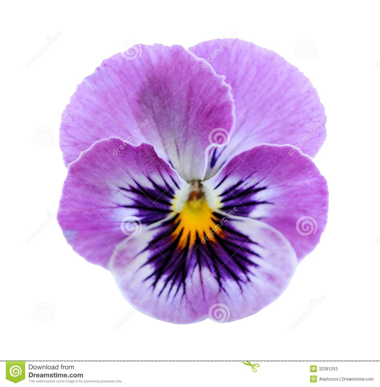 Pansy flower stock image image of nature purple bloom 32391253 pansy flower isolated on white background mightylinksfo
