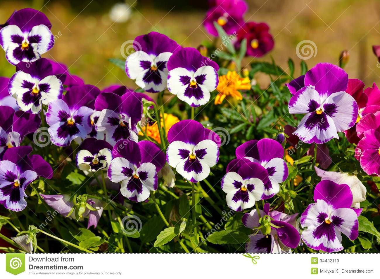 Pansy Flower Royalty Free Stock Images - Image: 34482119