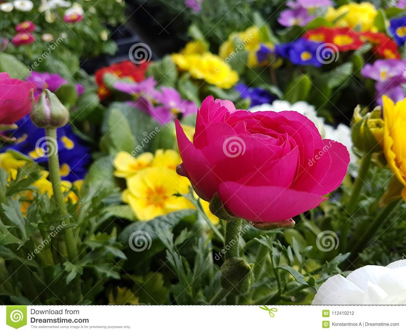 Pansy flower yellow pink spring background stock photo image of download pansy flower yellow pink spring background stock photo image of nature color mightylinksfo