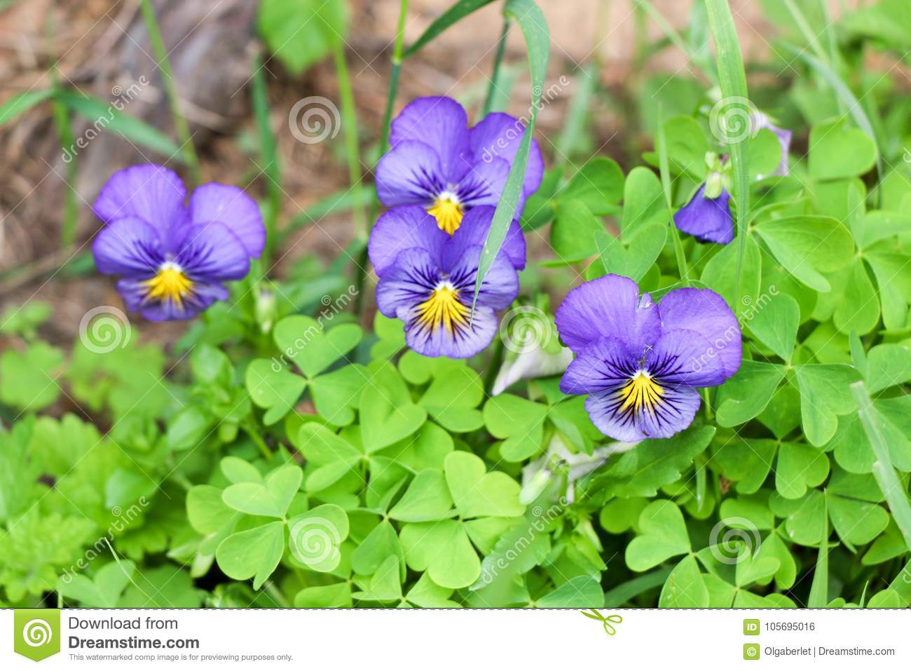 Pansy flowers blooming in the garden background stock for Dream plants for the natural garden