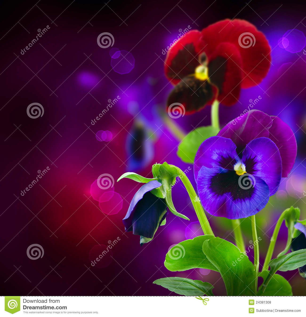 Pansy Flowers over Black