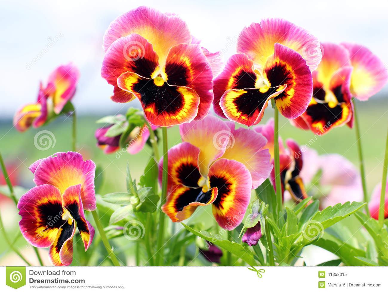 Pansy flowers pink yellow black closeup stock photo image of bloom pansy flowers pink yellow black closeup royalty free stock photo mightylinksfo