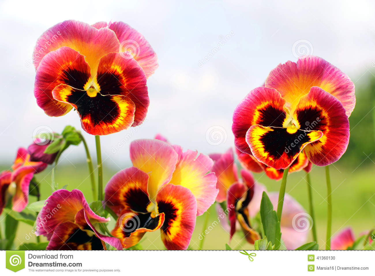 Pansy flowers pink yellow black closeup stock photo image of bloom download comp mightylinksfo
