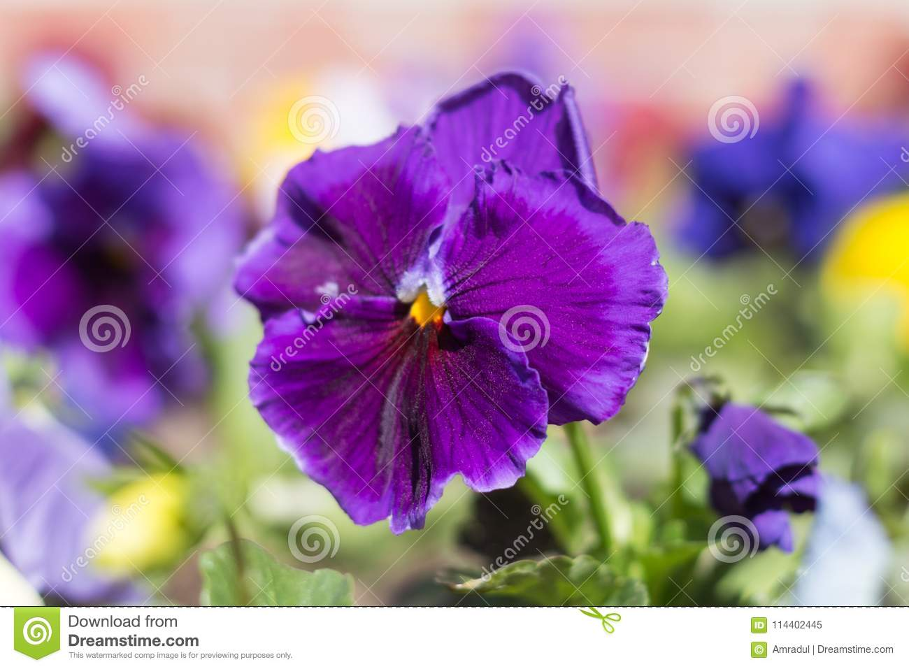 Pansy plant with blue flower stock image image of closeup blue pansy plant with blue flower izmirmasajfo