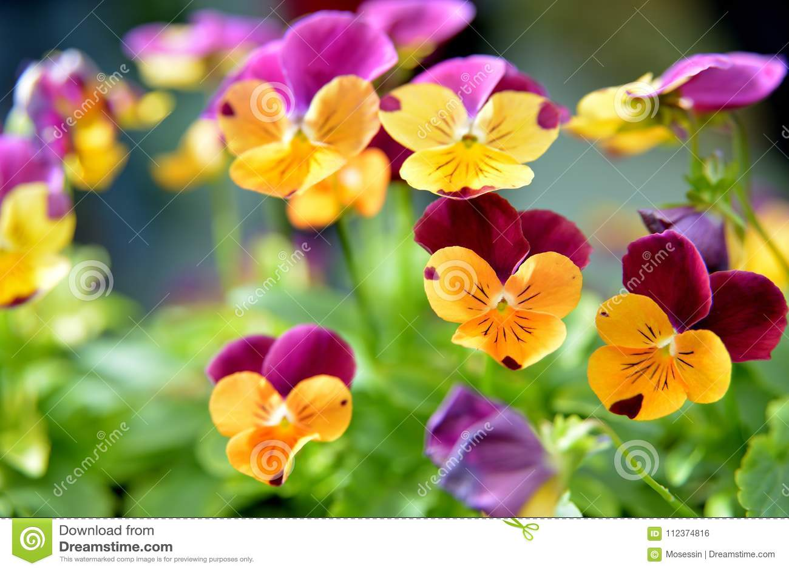 Pansy Viola flower