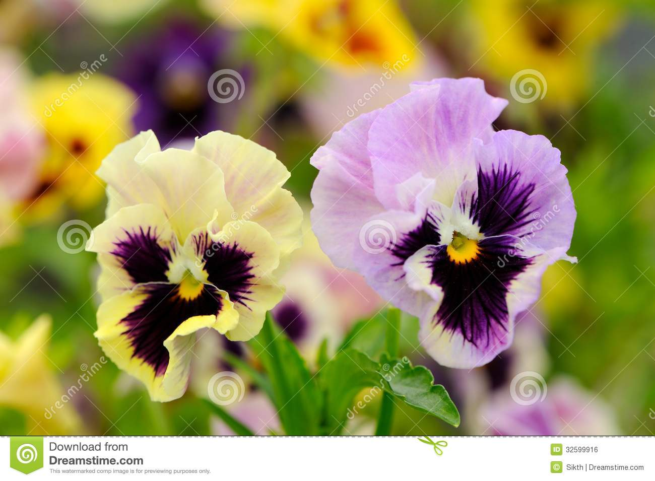 ... purple pansy violet (Viola tricolor) flowers growing on a flower bed