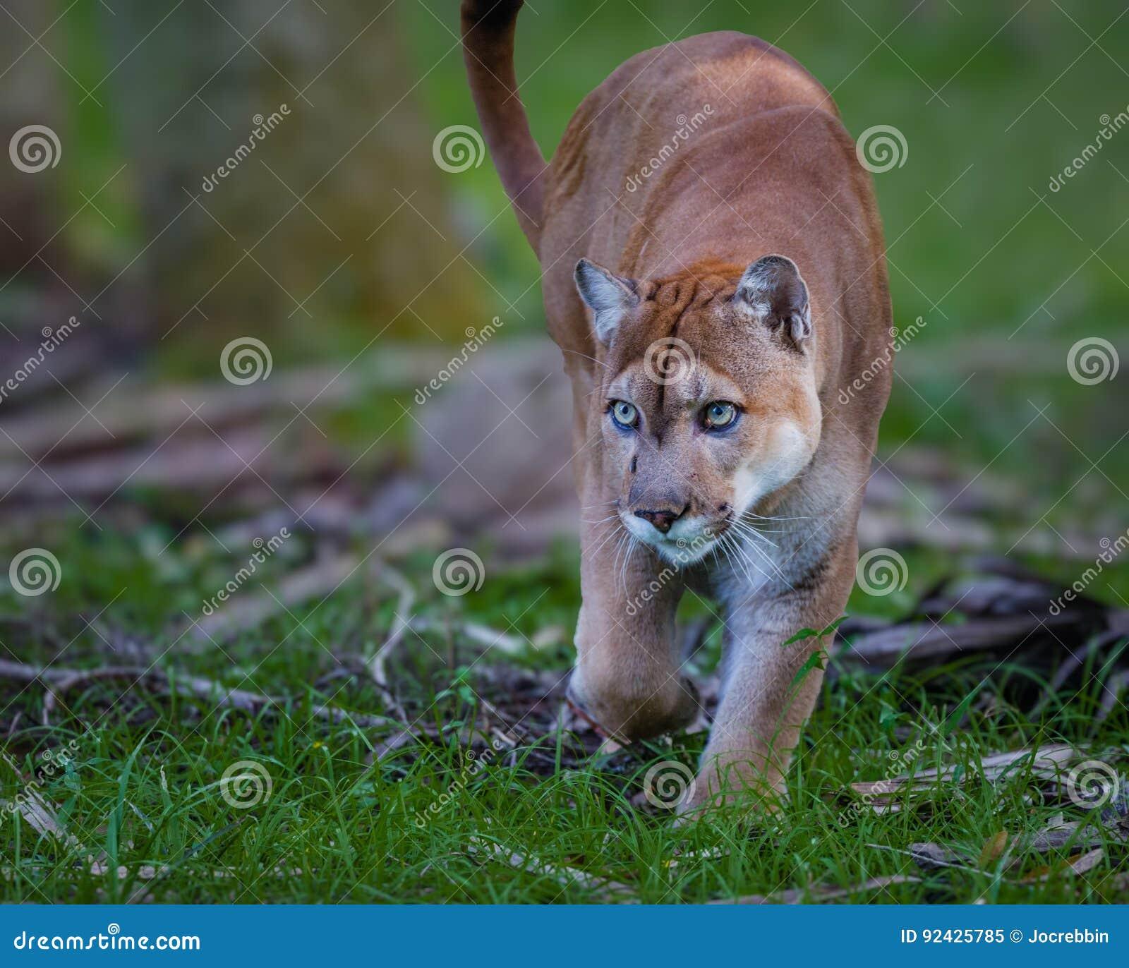 A pantera de Florida, puma, ou o puma, andam através da escova como ela desengaçam sua rapina