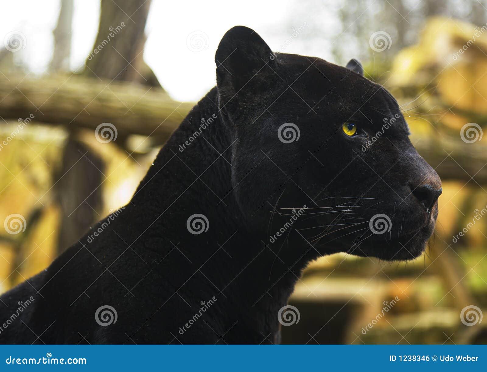 immagini di pantera nera da
