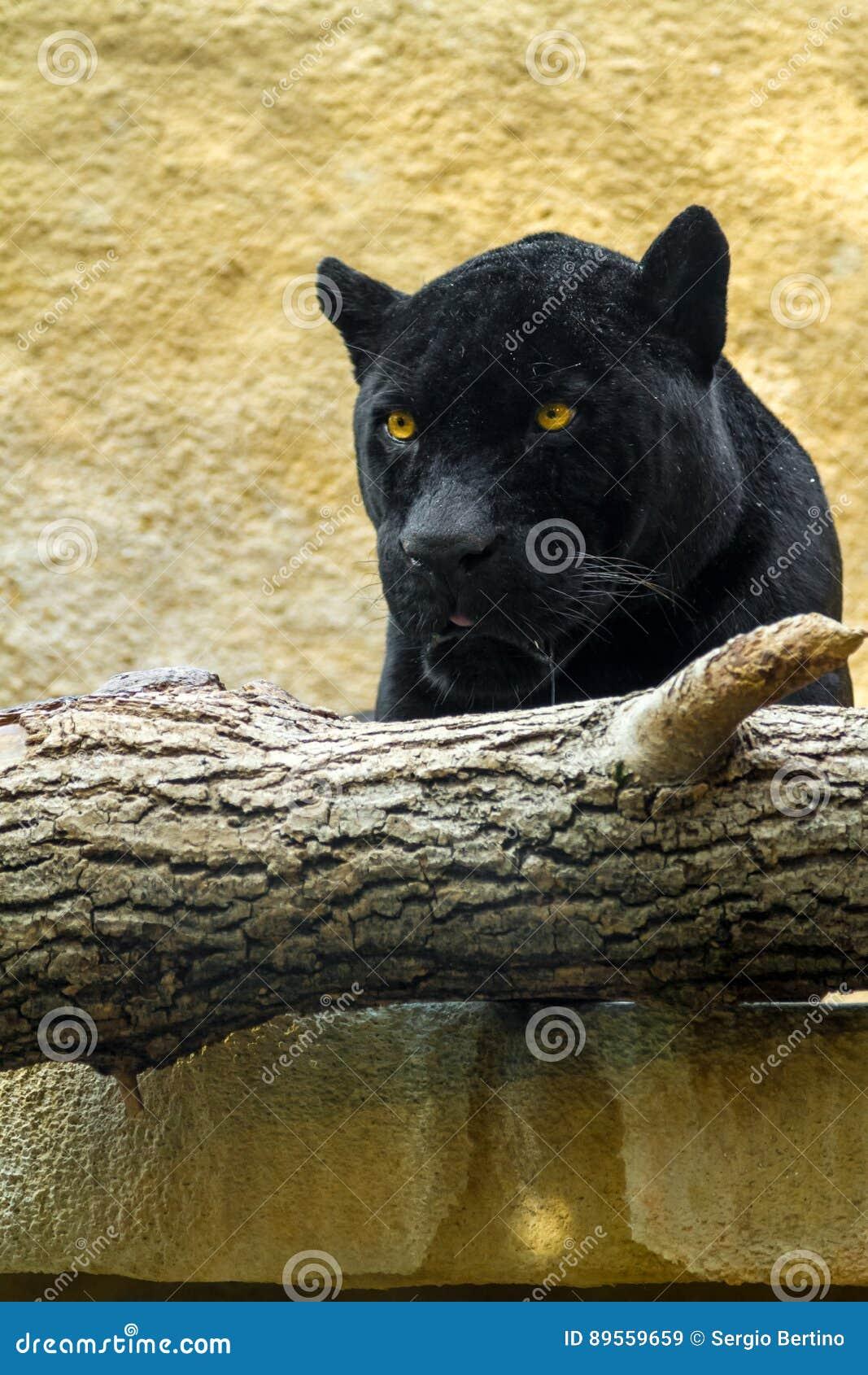 Pantera nera in una recinzione dello zoo