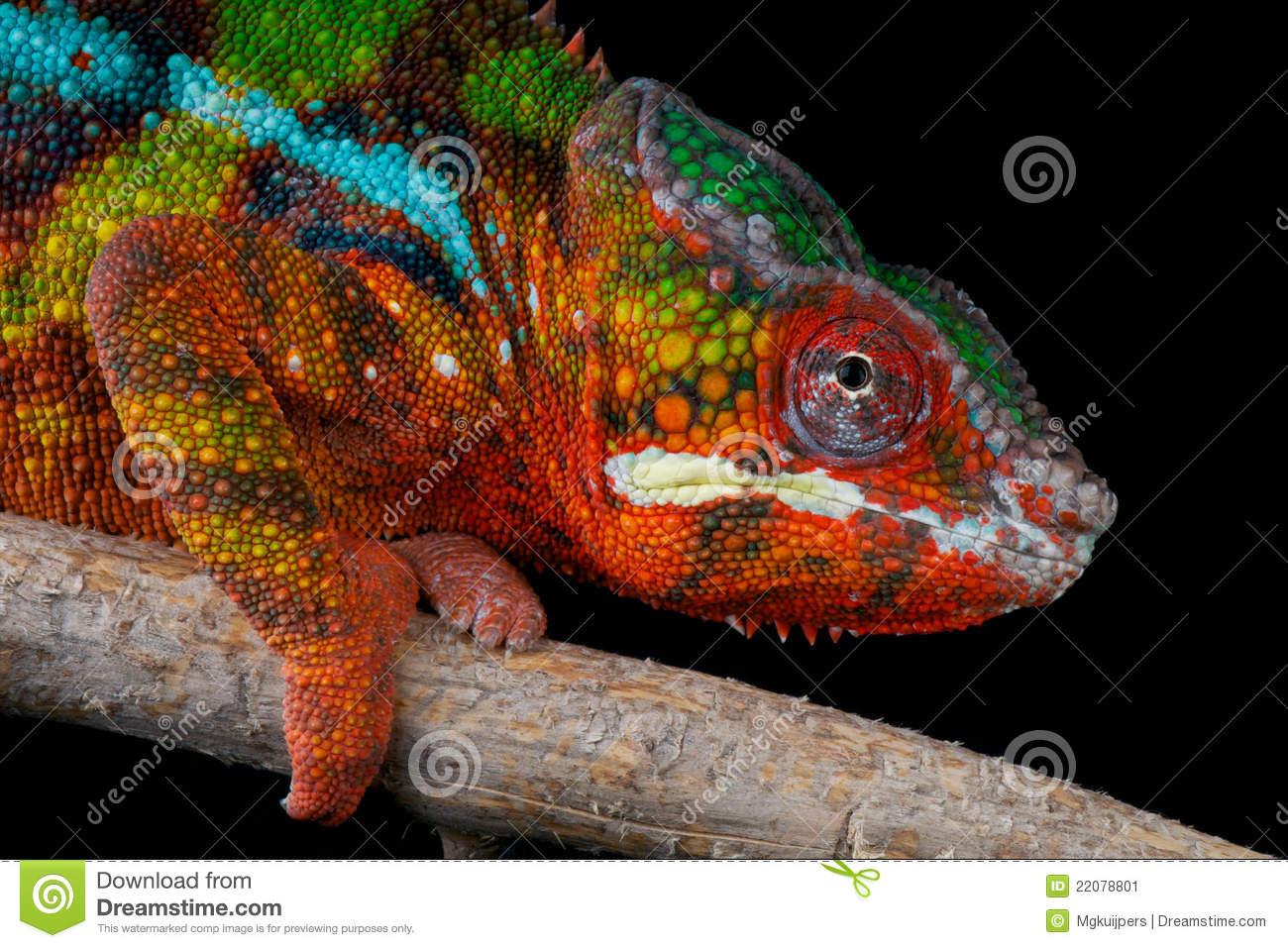 Download Panther chameleon stock image. Image of island, tail - 22078801
