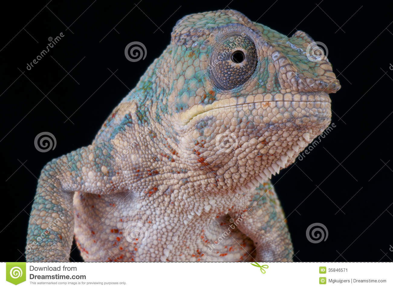 Colorful Pet Lizards Panther Chameleon / Fu...