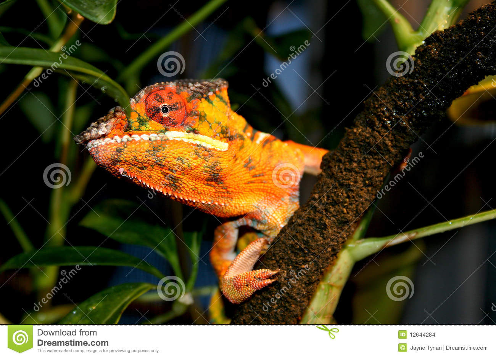 Panther Chameleon Peeking