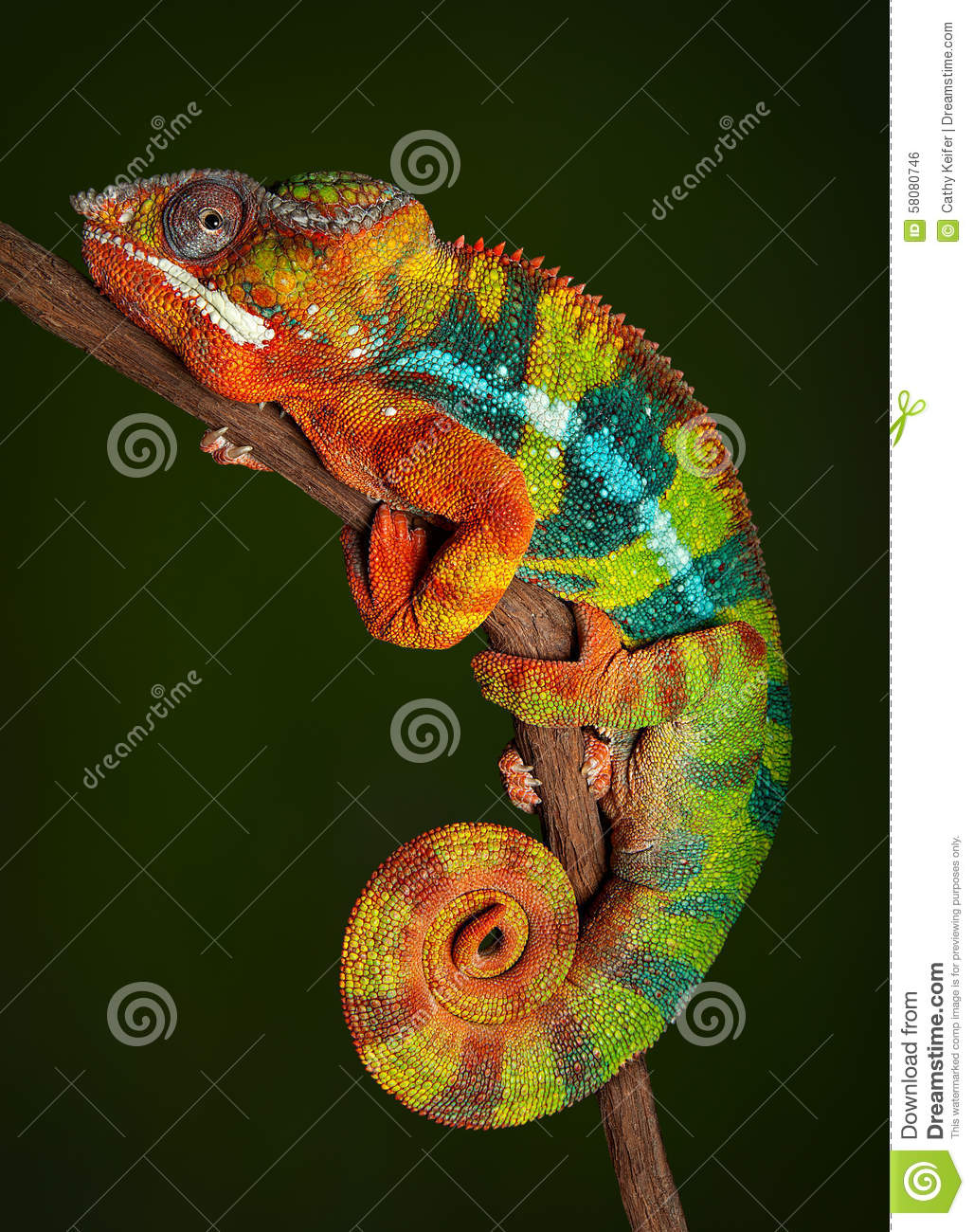 X 1 Chameleon Panther Chameleon at r...