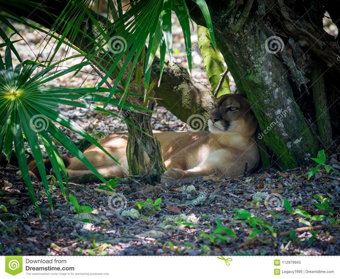 Panther Taking Shade From Hot Tropical Sun in Mexico