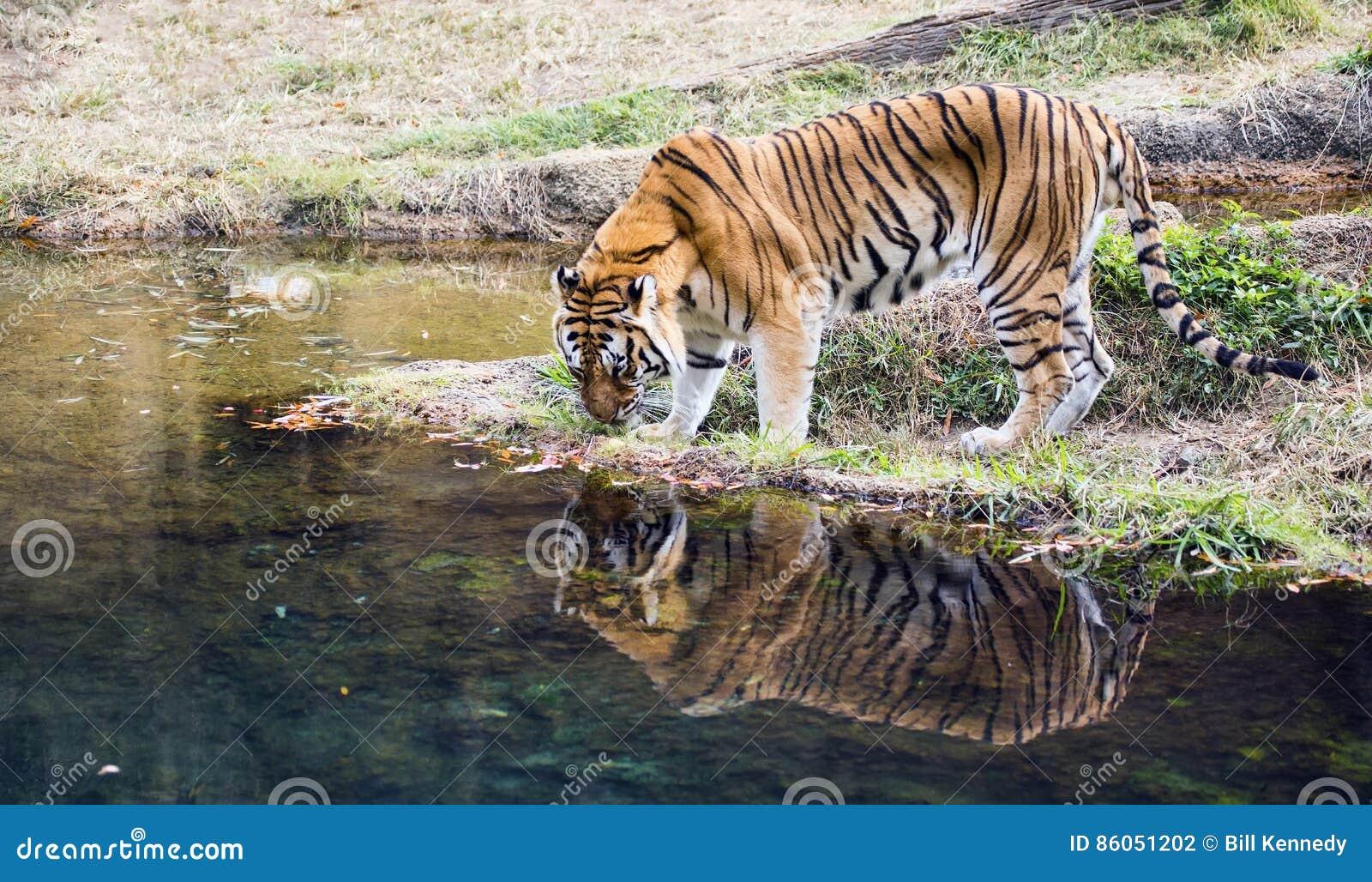 Canzoni Di Tigre Del Bengala Download Gratuito 2015 Video