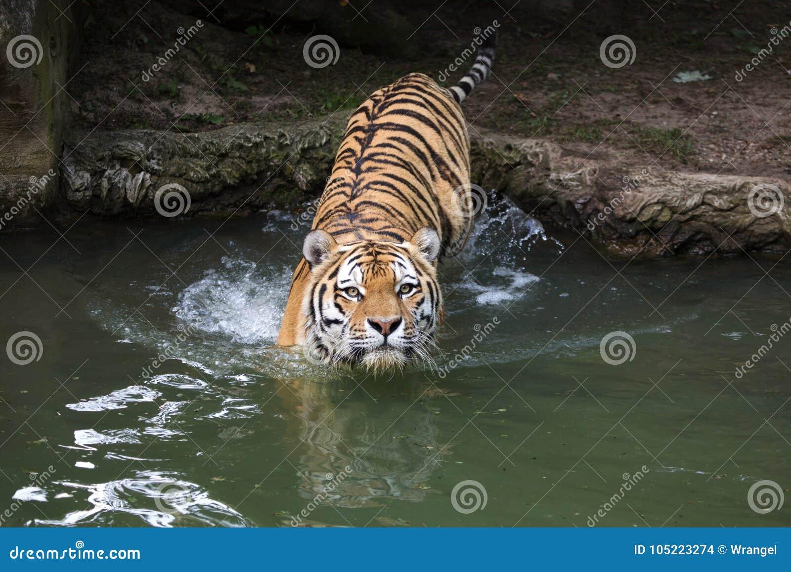 Pantheratigris för Siberian tiger altaica
