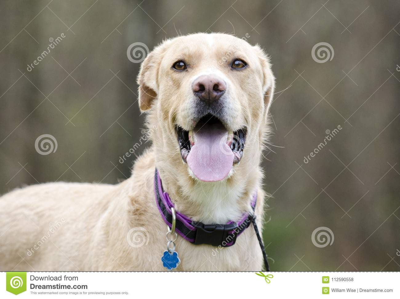 Panting Lab Mixed Breed Dog With Rabies Tag Stock Photo Image Of