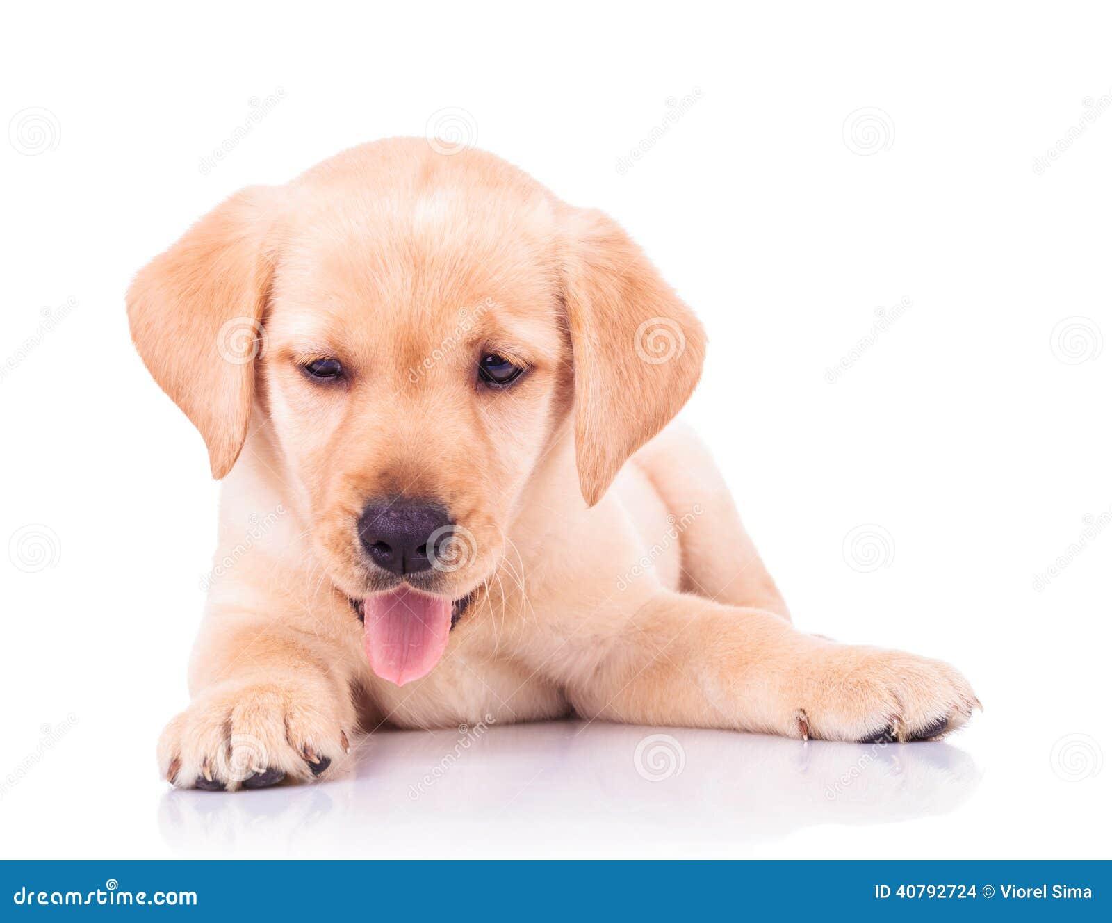 Panting Labrador Retriever Puppy Dog Lying Down Stock Photo Image