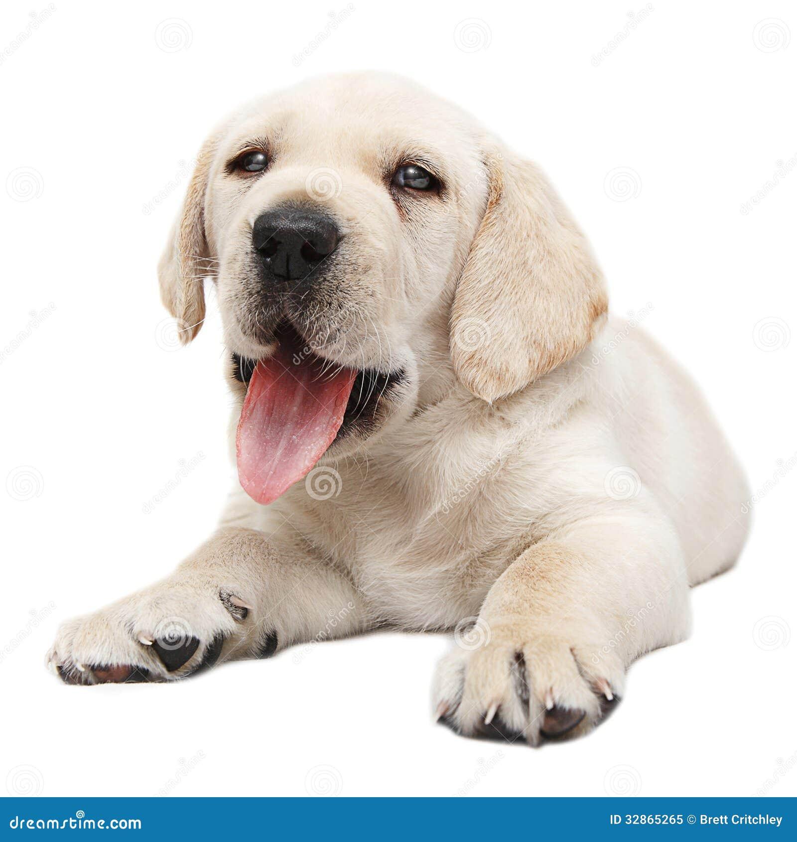 Panting Puppy Dog Stock Image Image Of Panting Pants 32865265