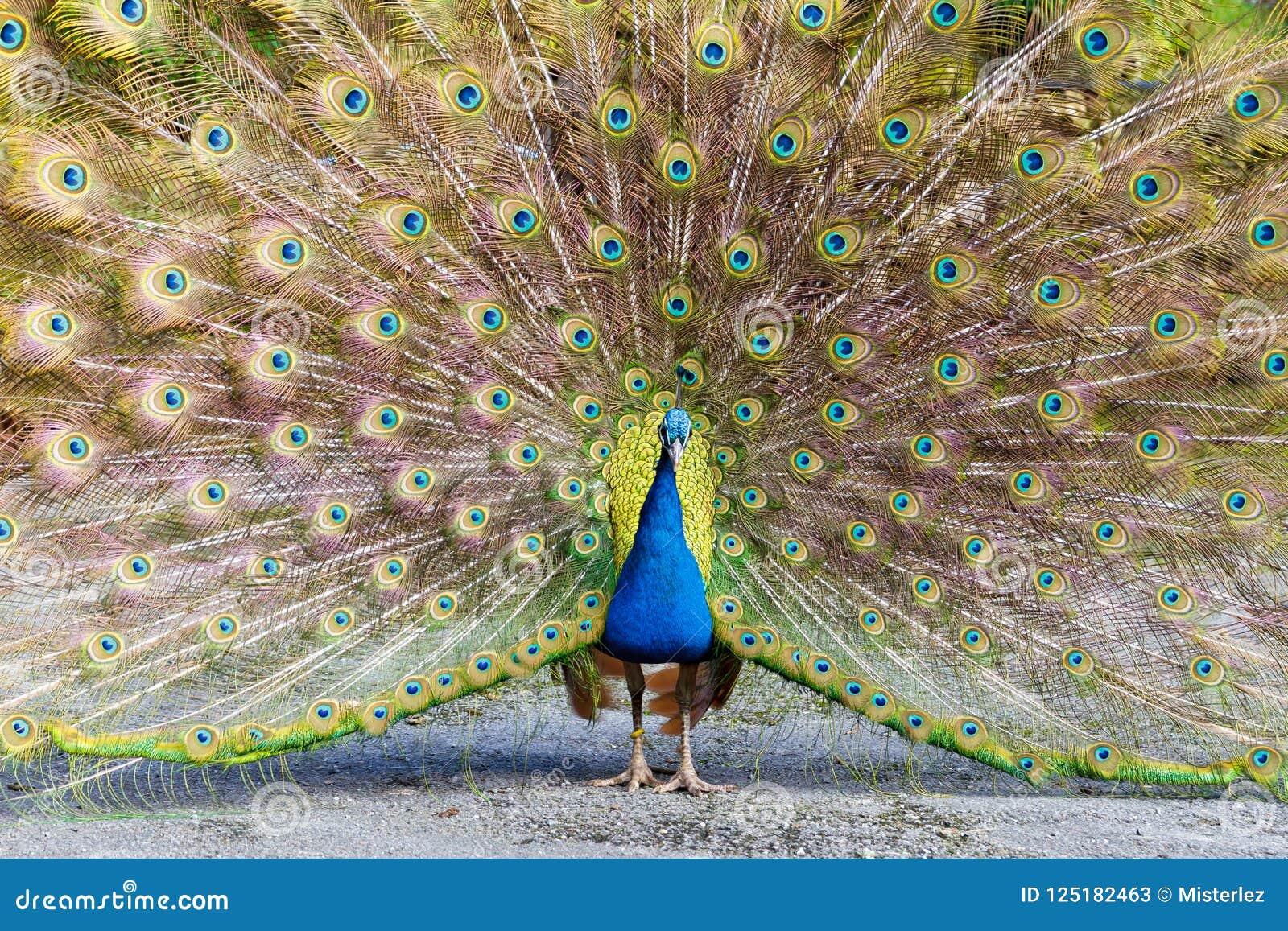 Paon affichant le plumage