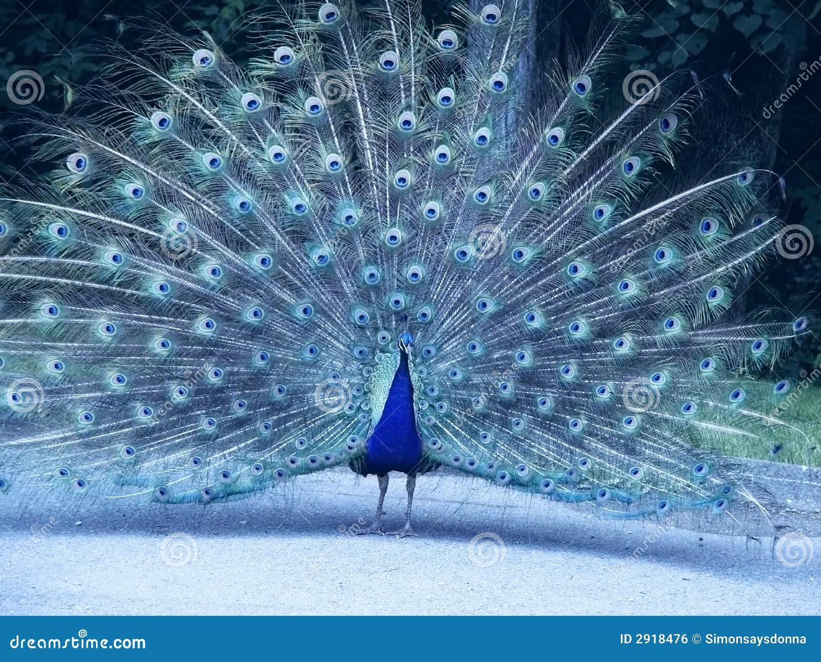 paon bleu photo stock image du compl tement clavettes 2918476. Black Bedroom Furniture Sets. Home Design Ideas