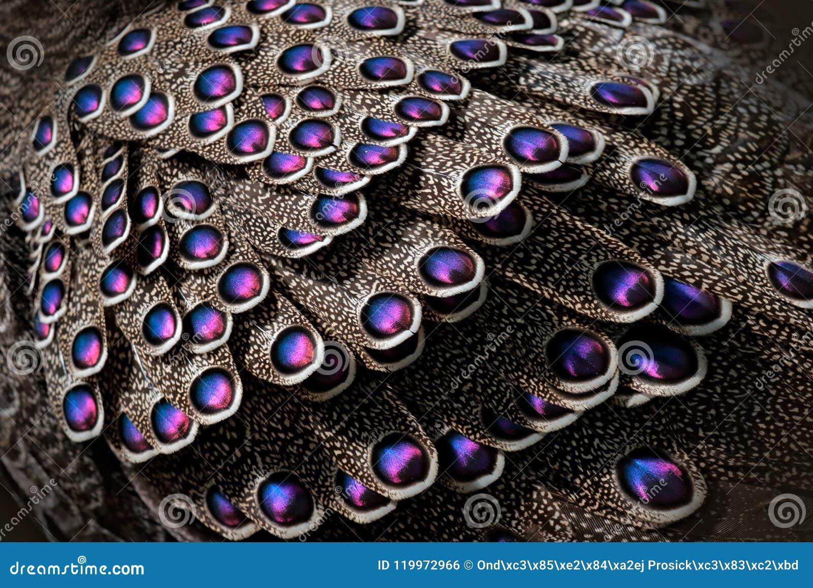 Paon-faisan, bicalcaratum gris de Polyplectron, détail en gros plan des plumes roses de plumage, grises et bleues Animla d Asie e