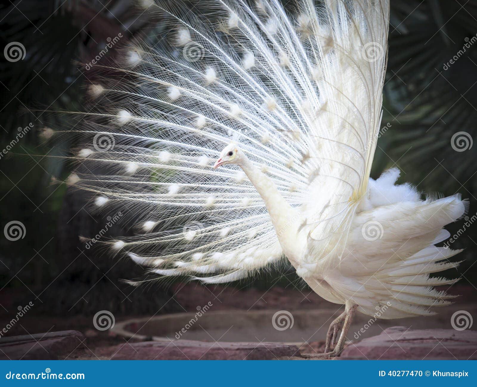 Paon indien masculin blanc avec le beau feathe de plumage de queue de fan