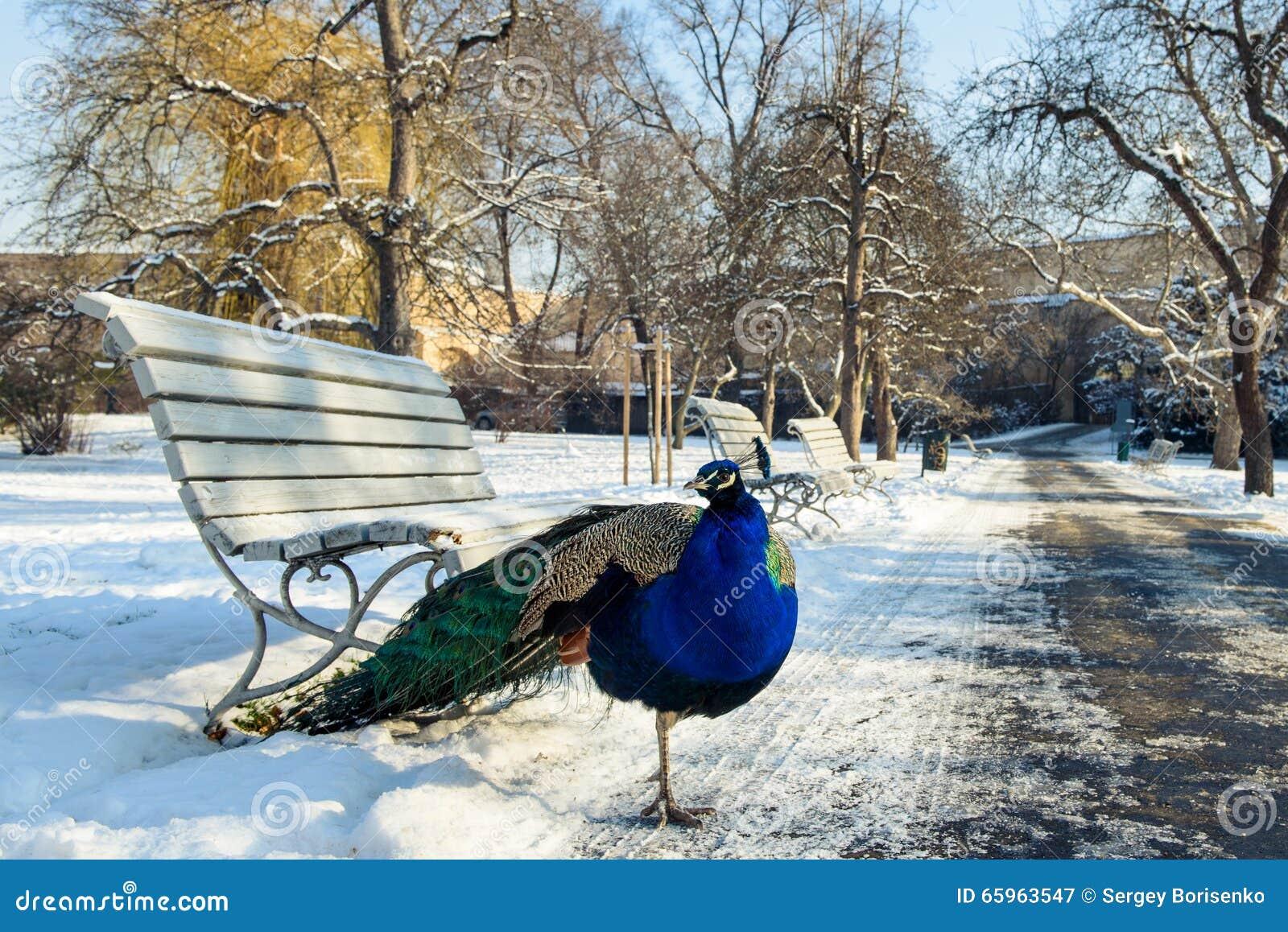Paon sur la neige