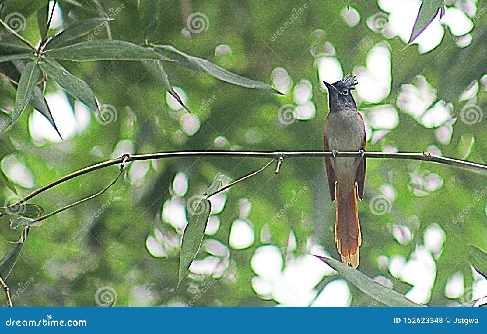 Papa-moscas asiático do paraíso fêmea no habitat