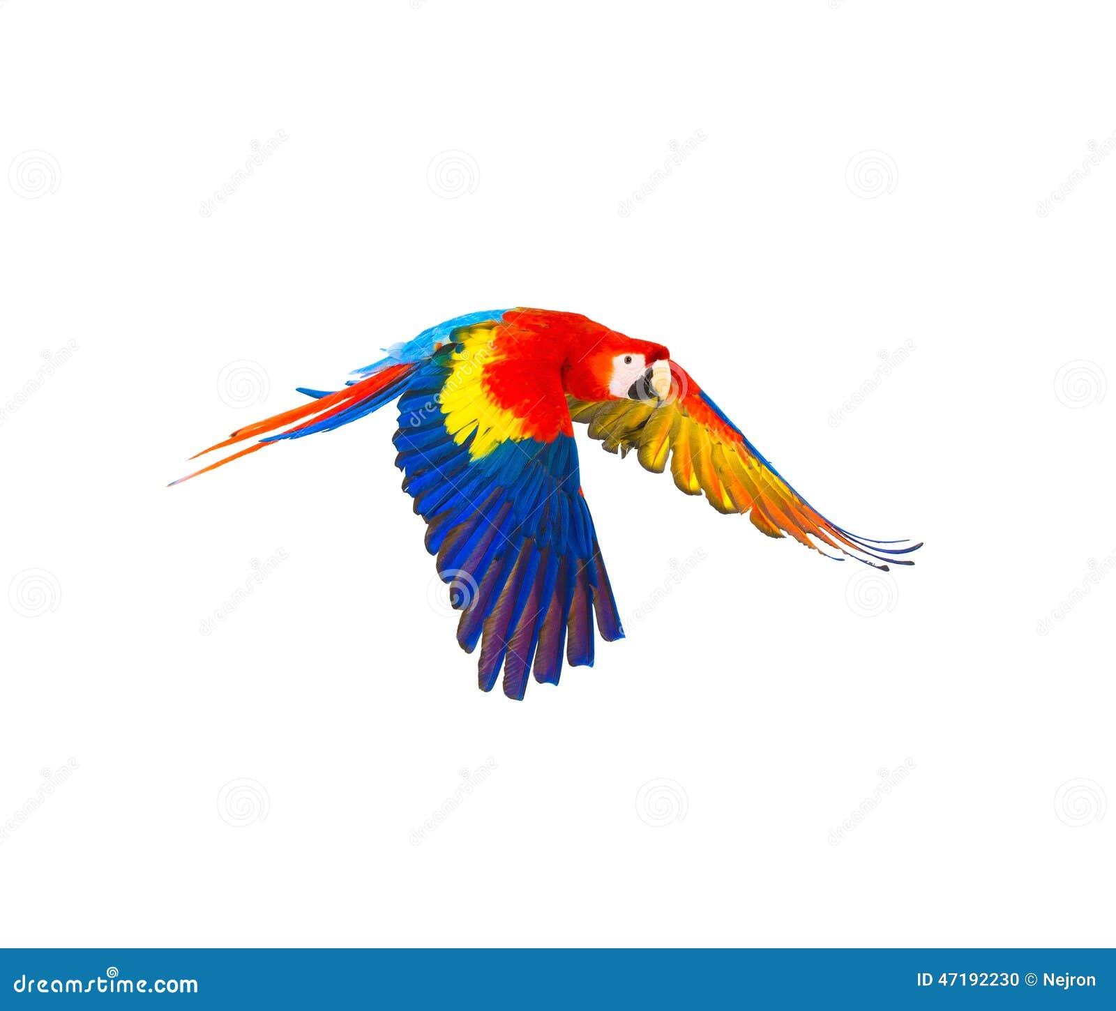 Papagaio colorido do voo