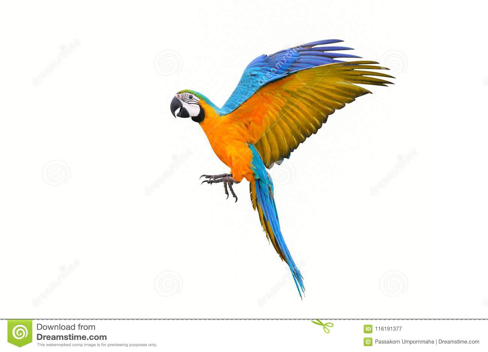 Papagaio colorido do voo isolado no branco