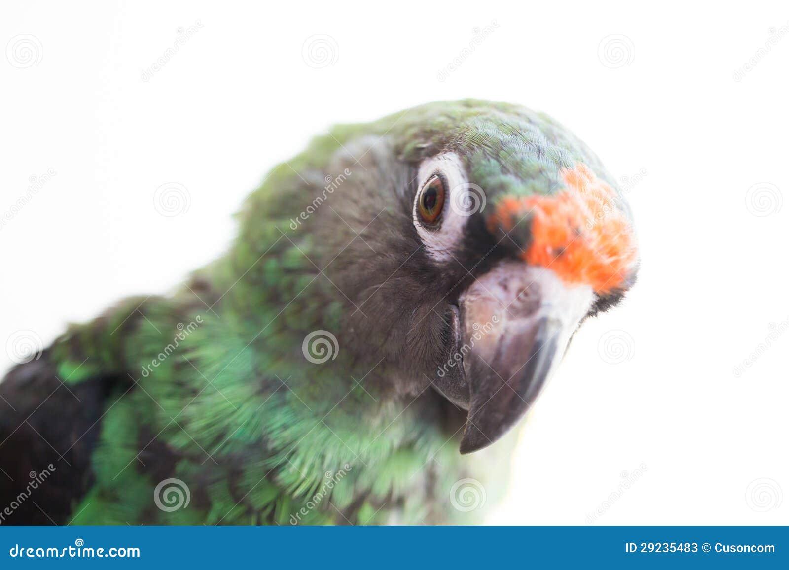 Download Papagaio de Jardine imagem de stock. Imagem de tropical - 29235483