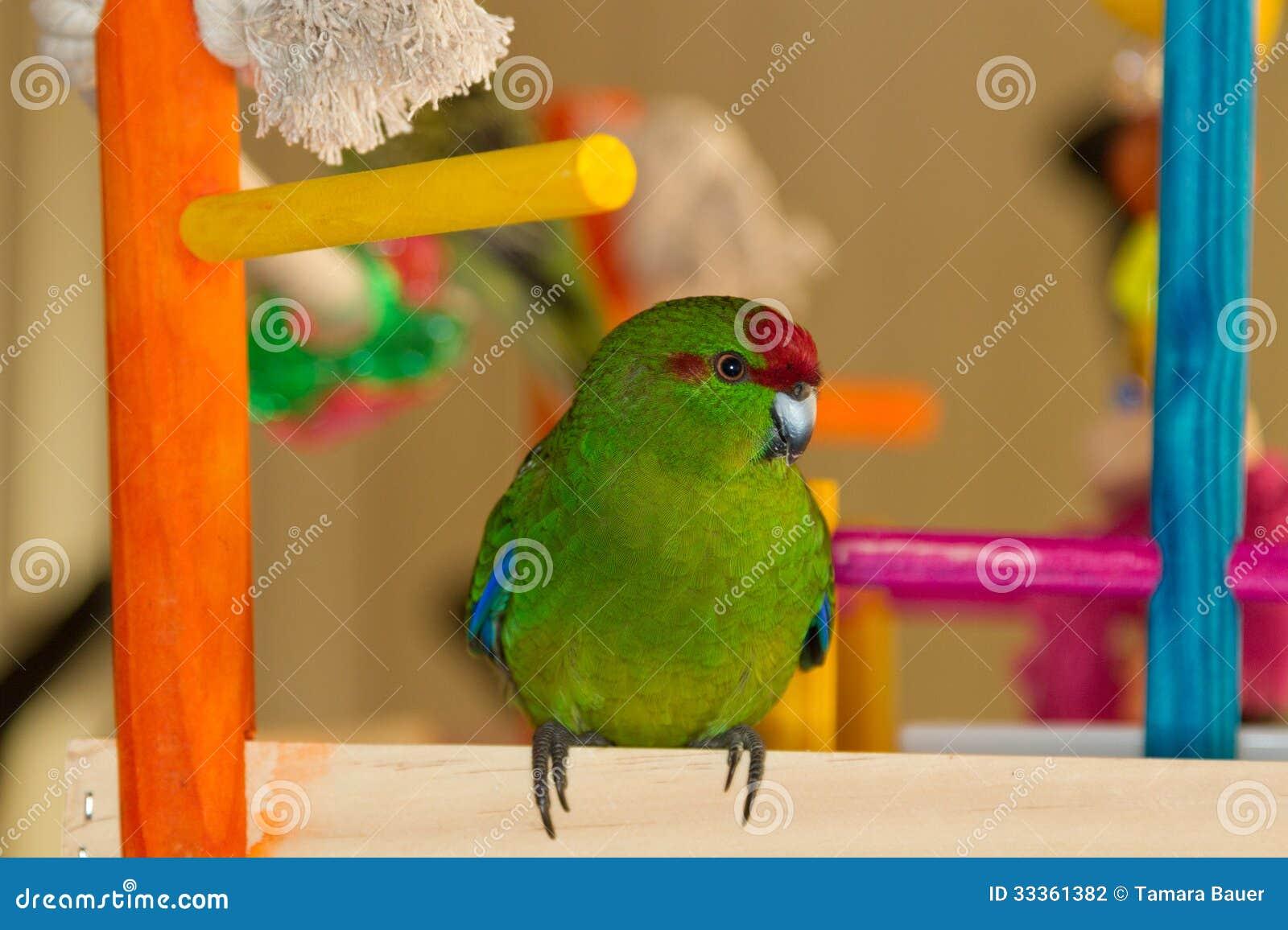 Papagaio de Kakariki