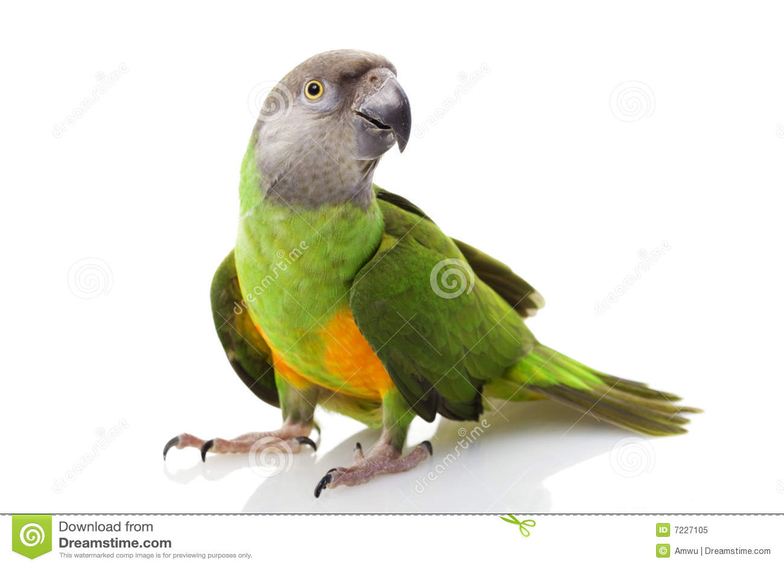 Papagaio de Senegal