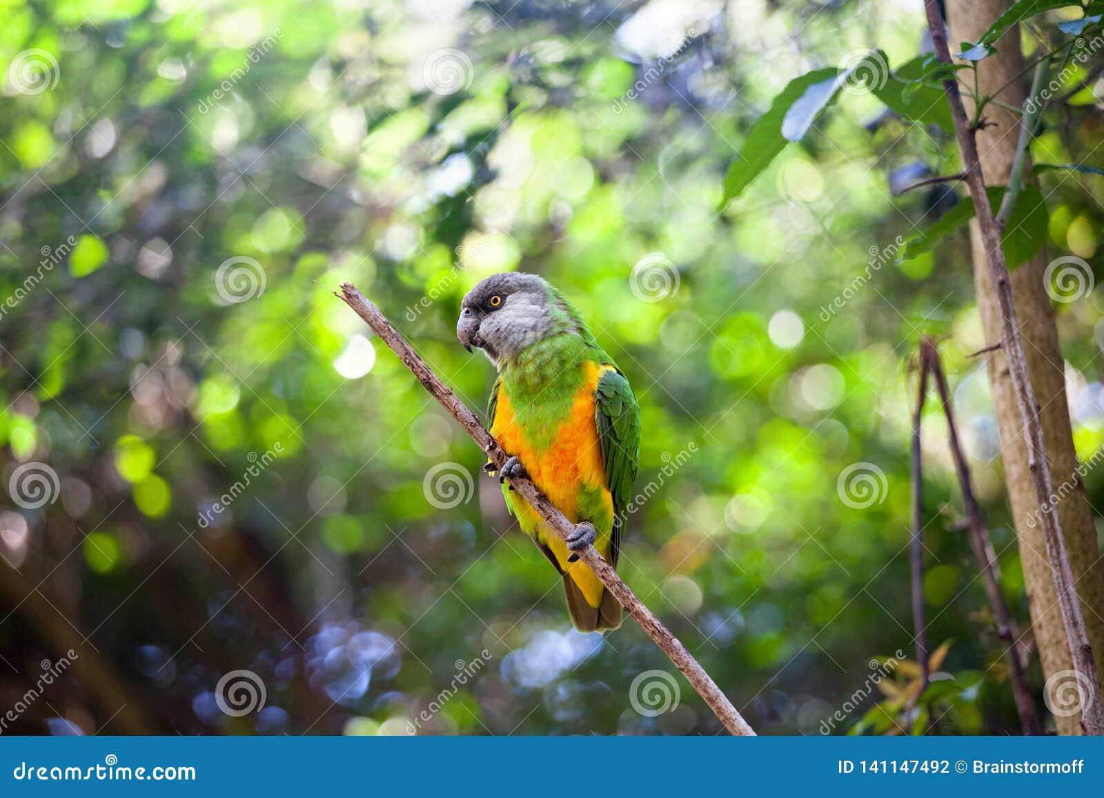 Papagaio de Senegal ou senegalus de Poicephalus que senta-se no fim verde do fundo da árvore acima