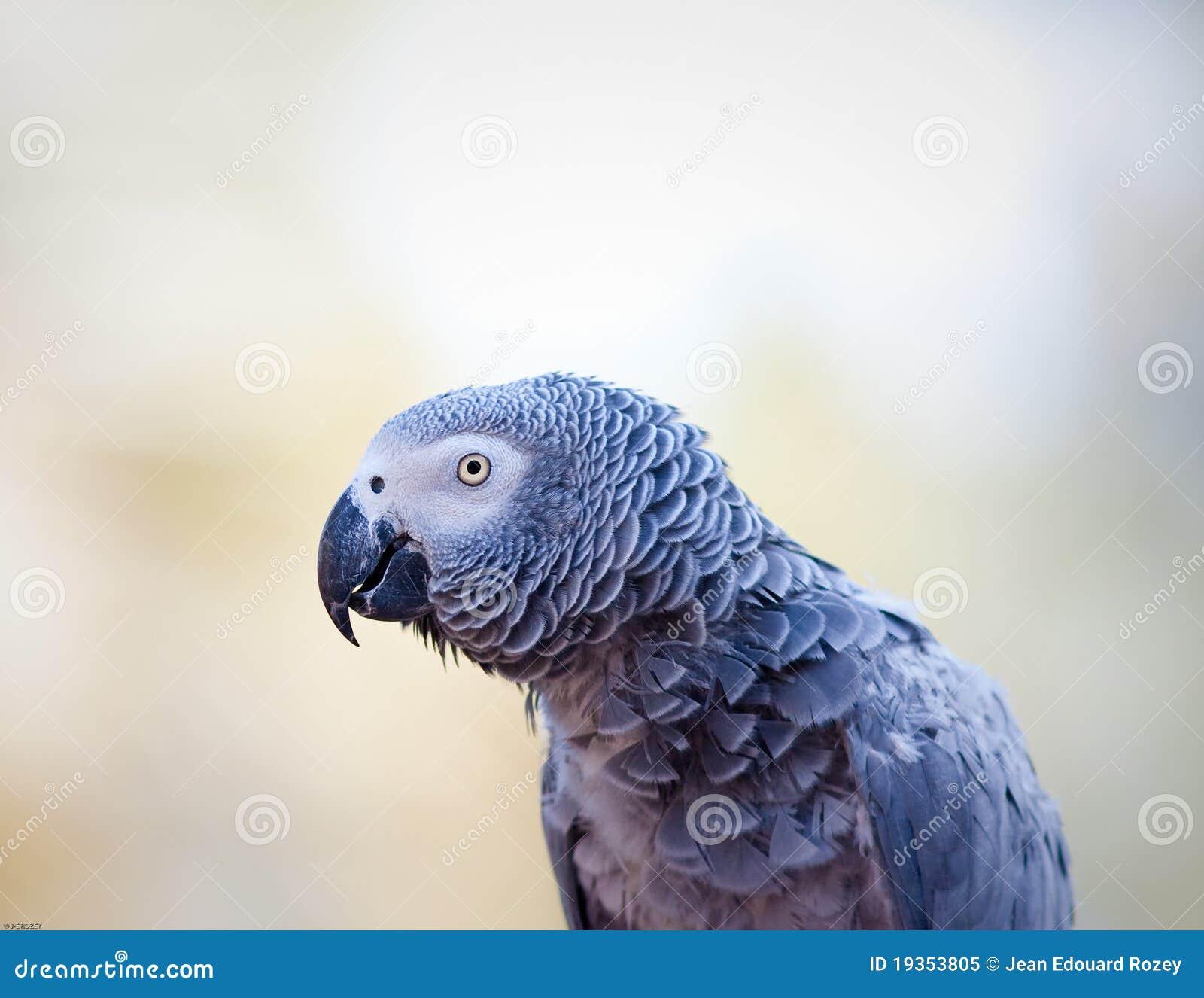 Papagaio do cinza africano
