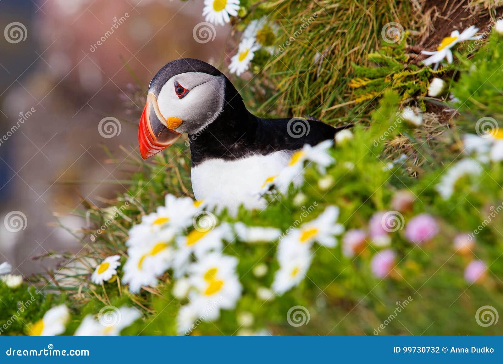 Papagaio-do-mar atlântico bonito em Islândia