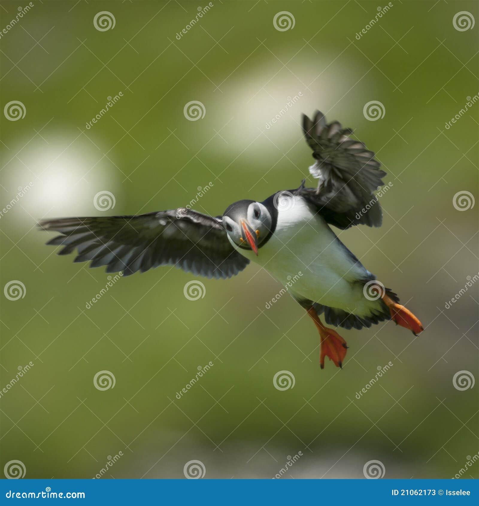 Papagaio-do-mar atlântico ou papagaio-do-mar comum