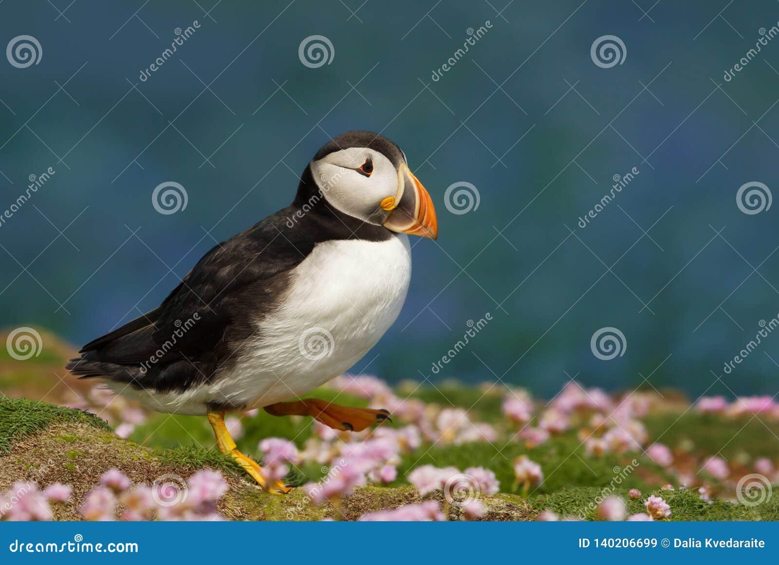 Papagaio-do-mar atlântico que anda na parcimônia no verão