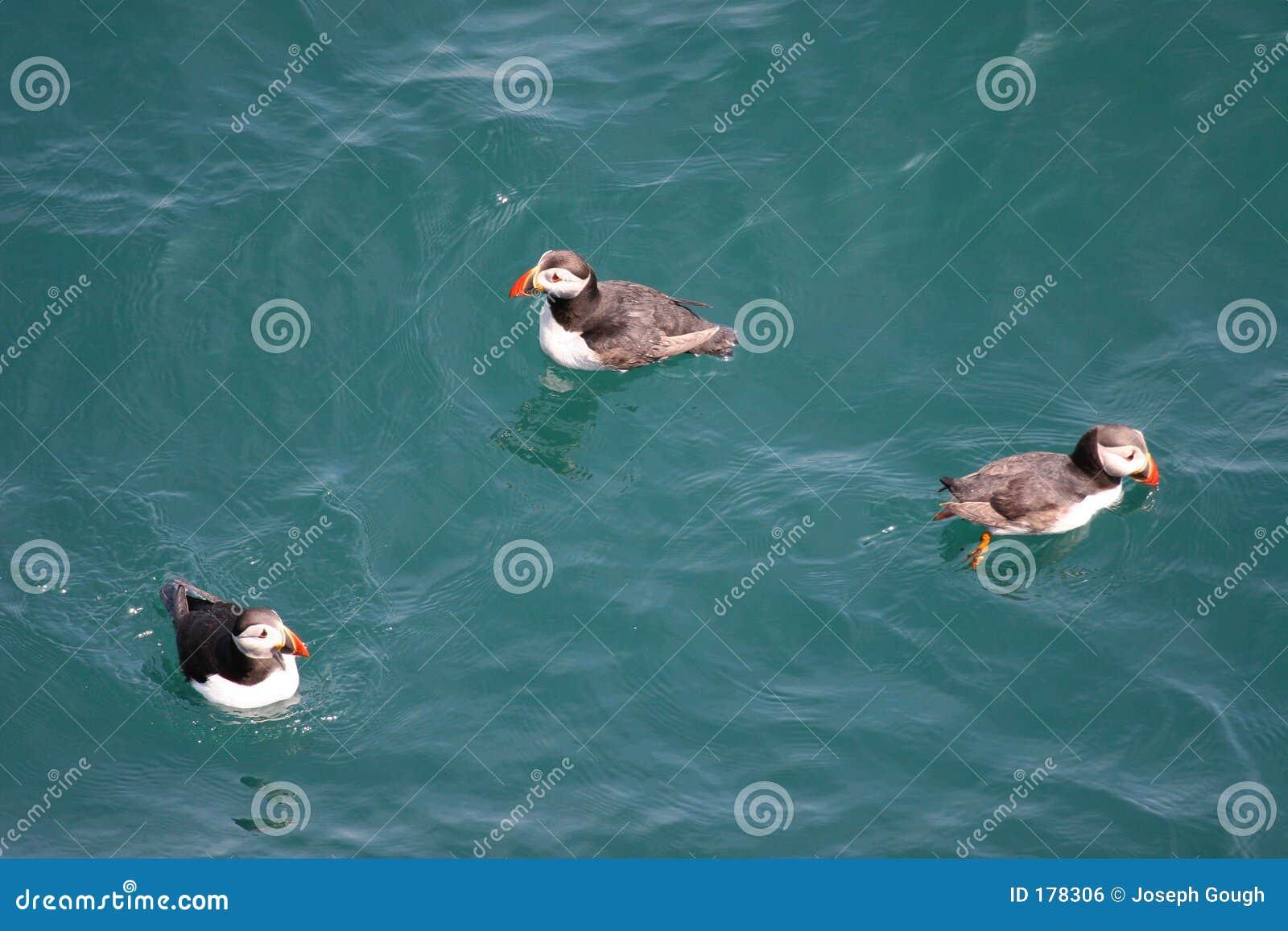Papagaio-do-mar uma abundância