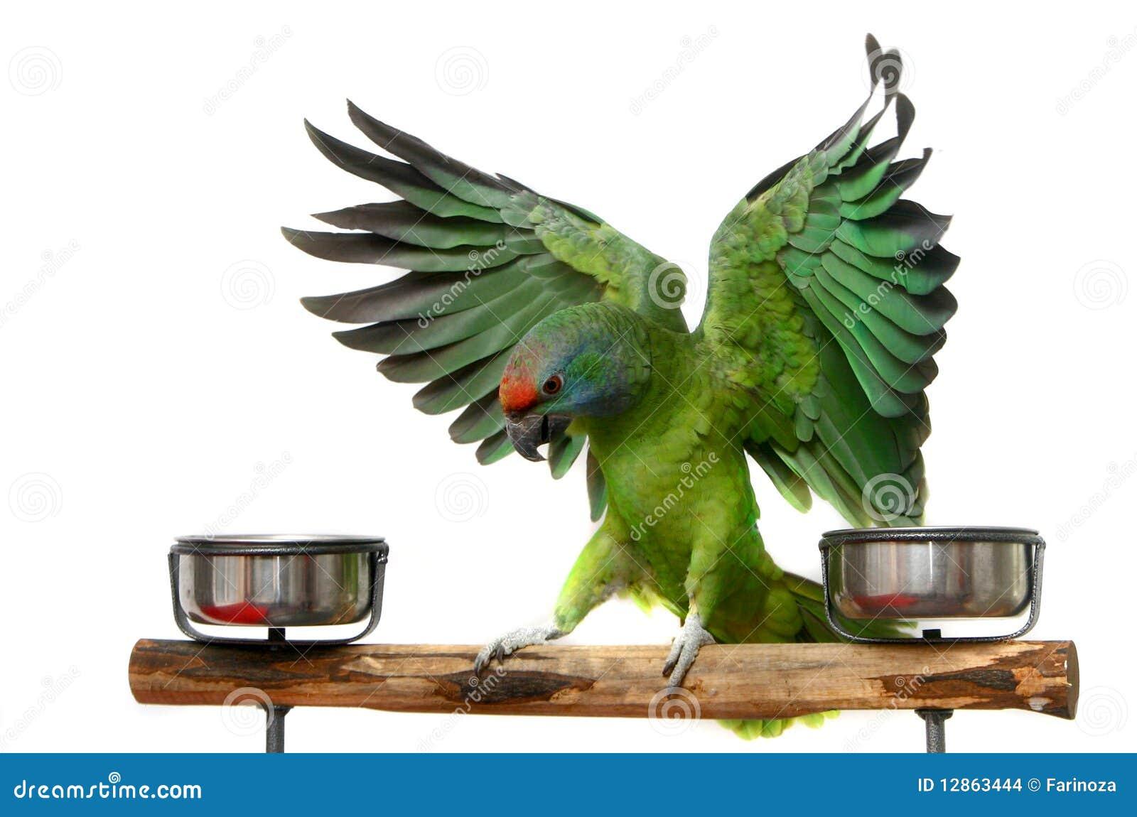 Papagaio do vôo