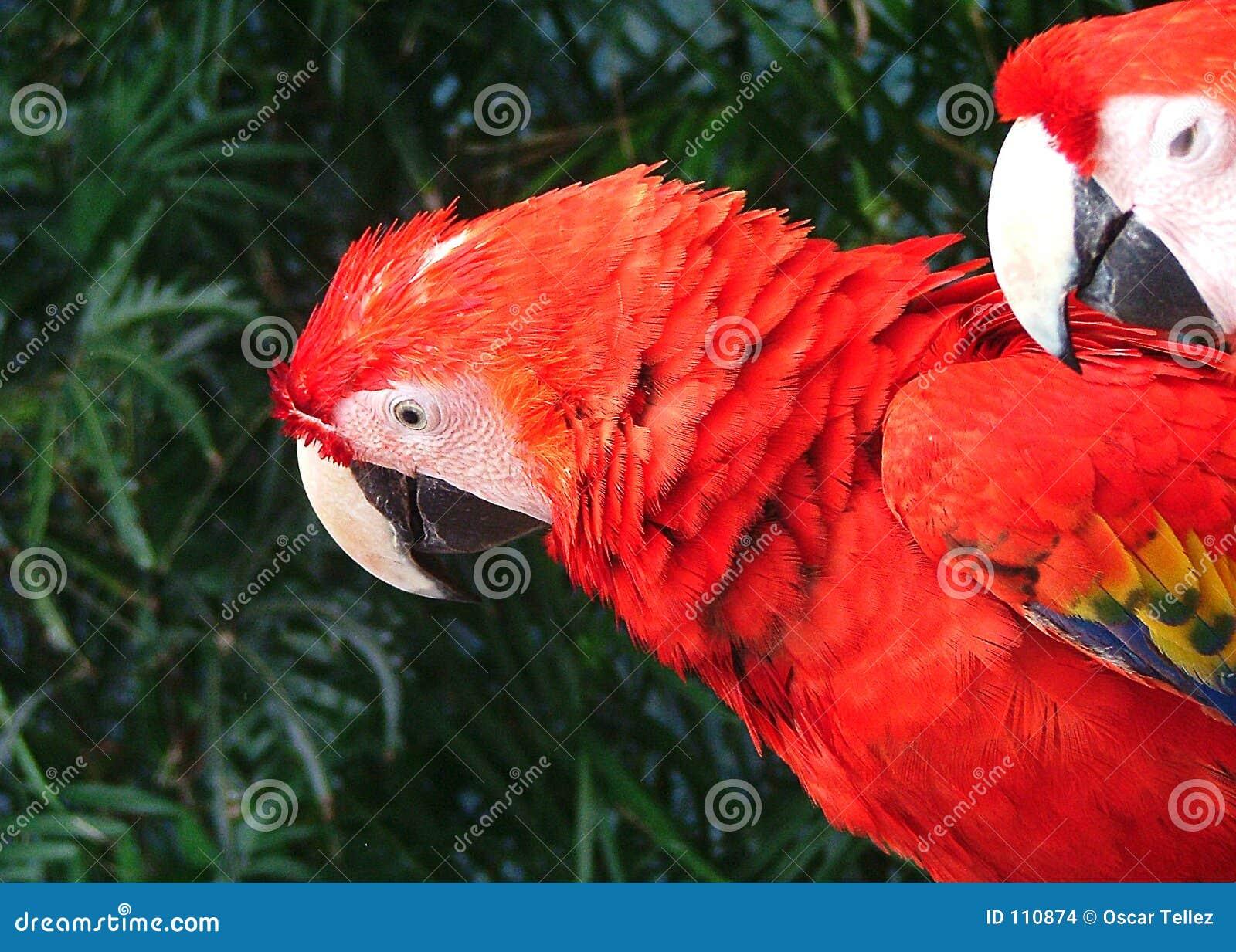 Papagaio em cancun