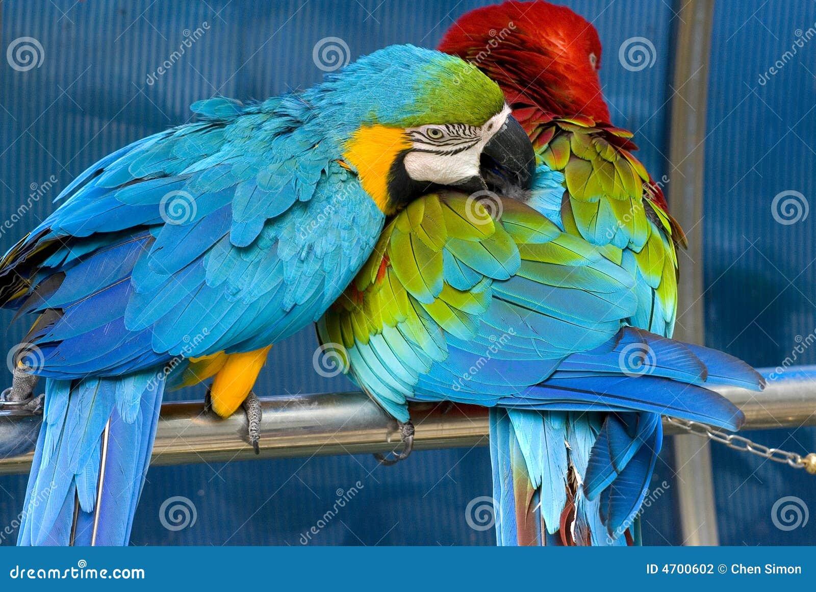Papagaio encantador