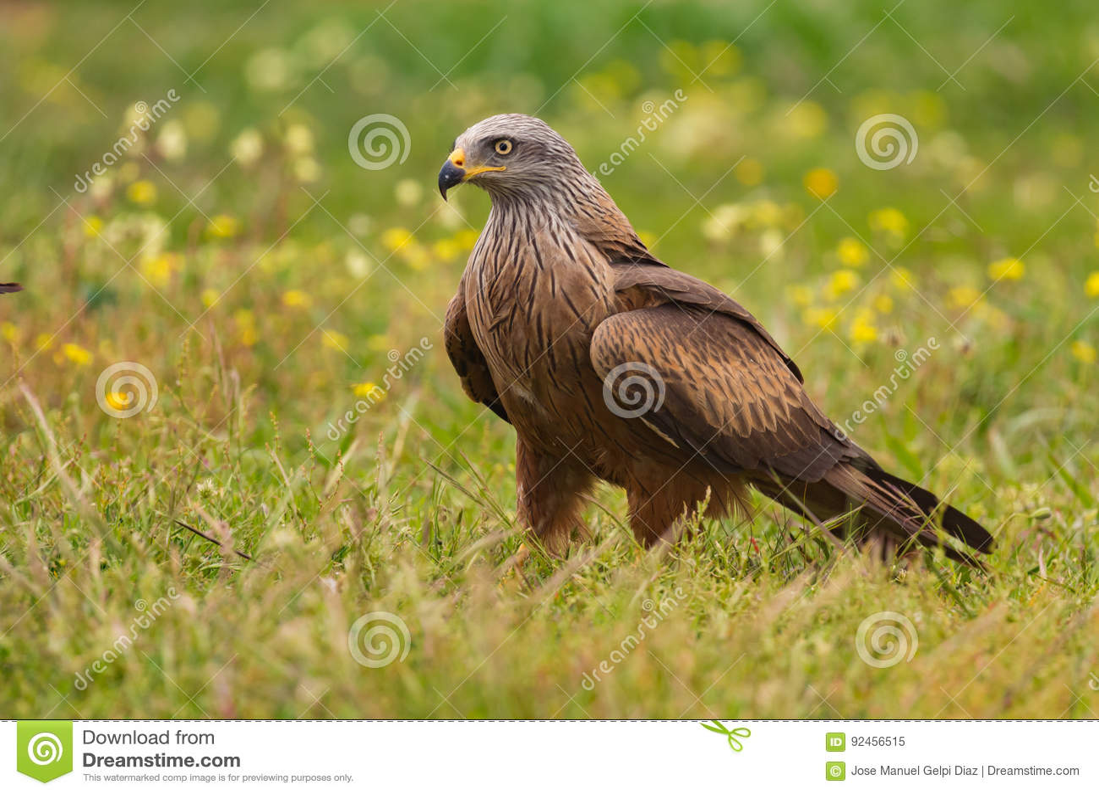 Papagaio preto adulto