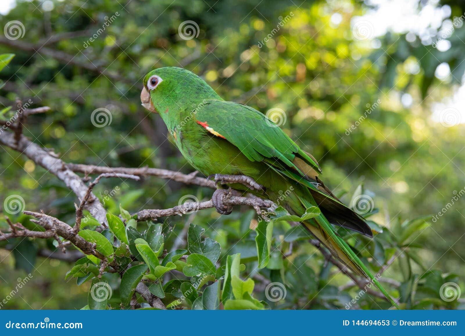 Papagaio verde com os olhos claros na limeira
