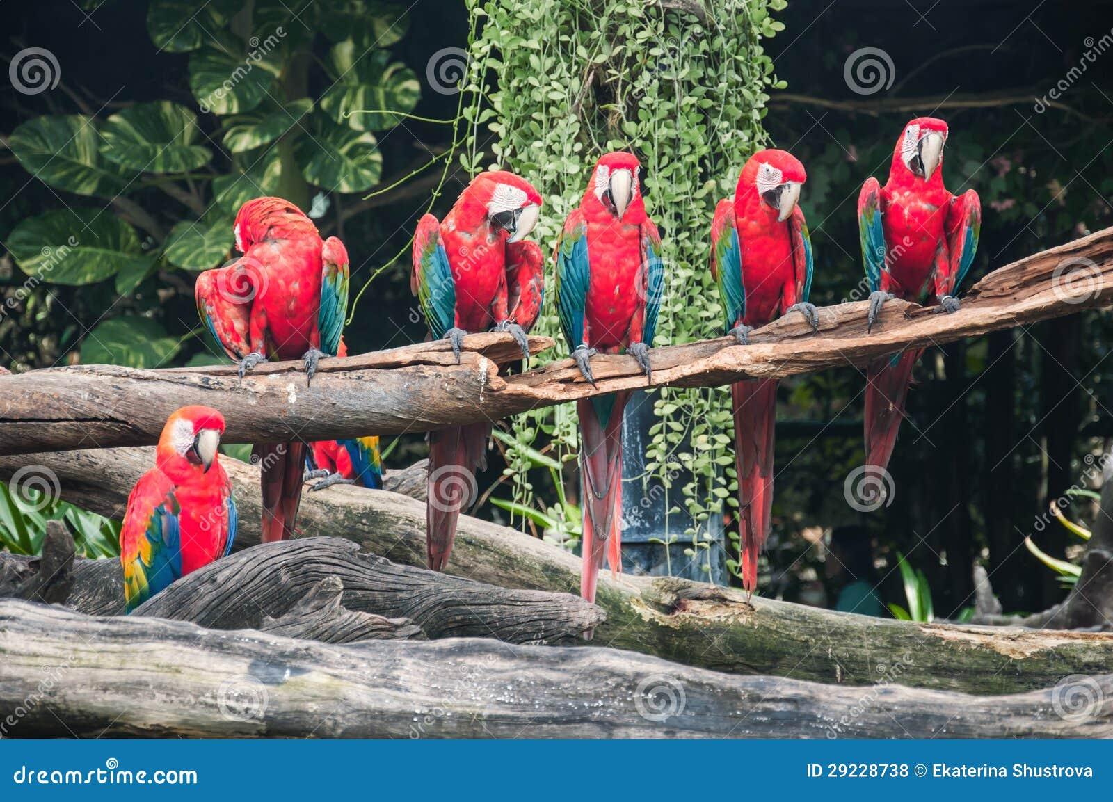 Download Papagaios Do Macaw No Jardim Zoológico Foto de Stock - Imagem de macaw, vermelho: 29228738