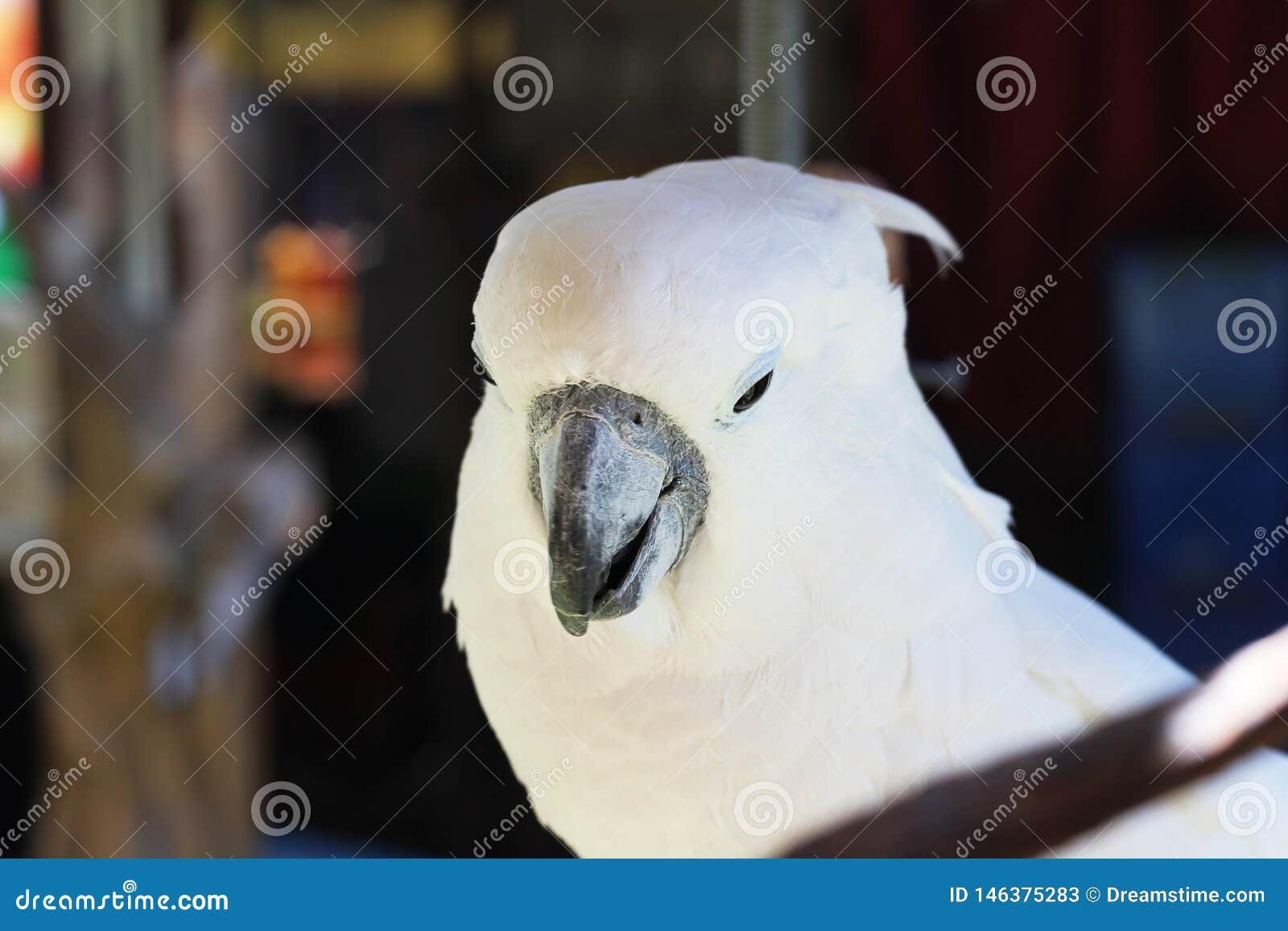 Papagaios sempre brancos na província de Yunnan