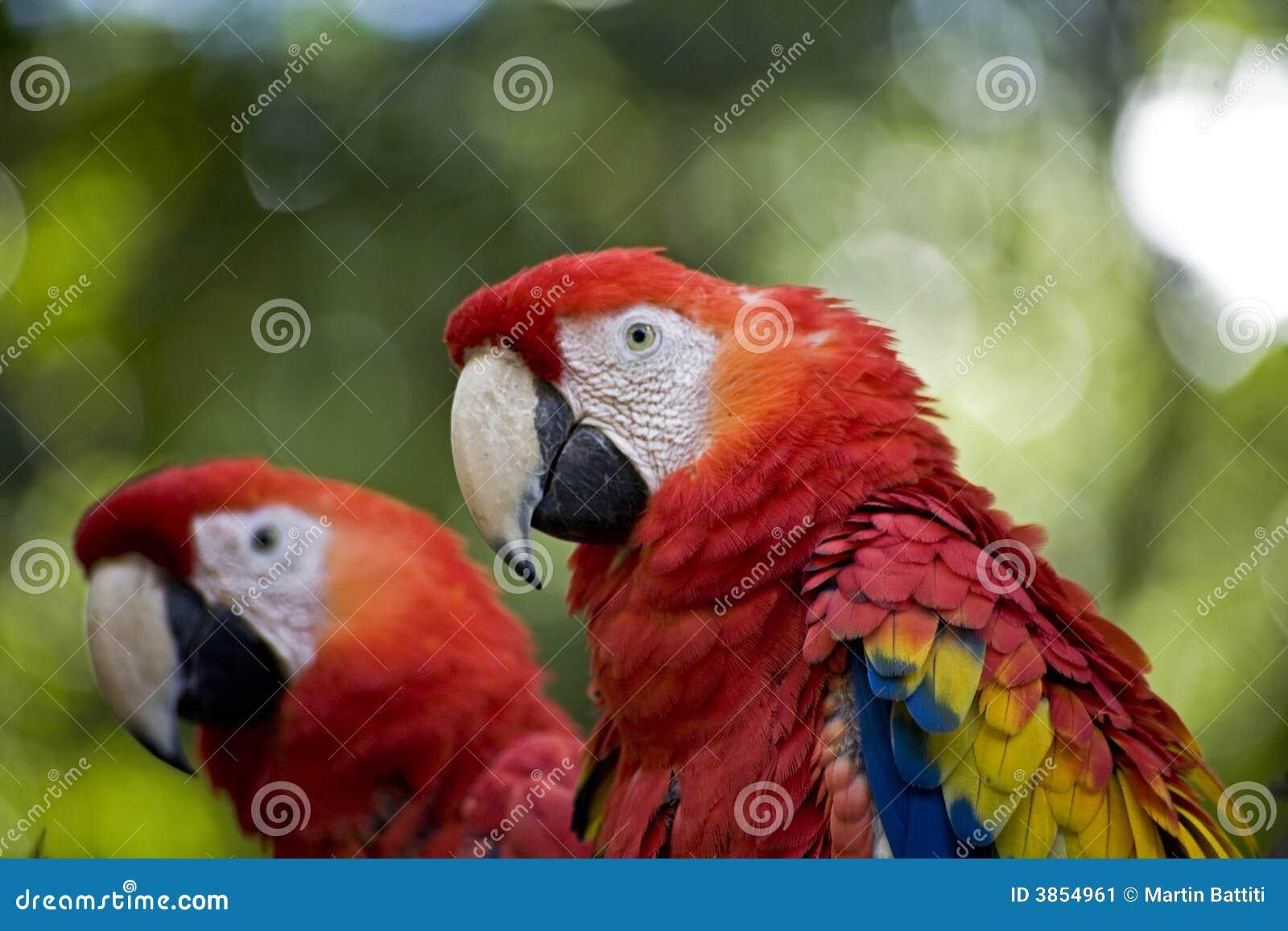 Papagaios vermelhos