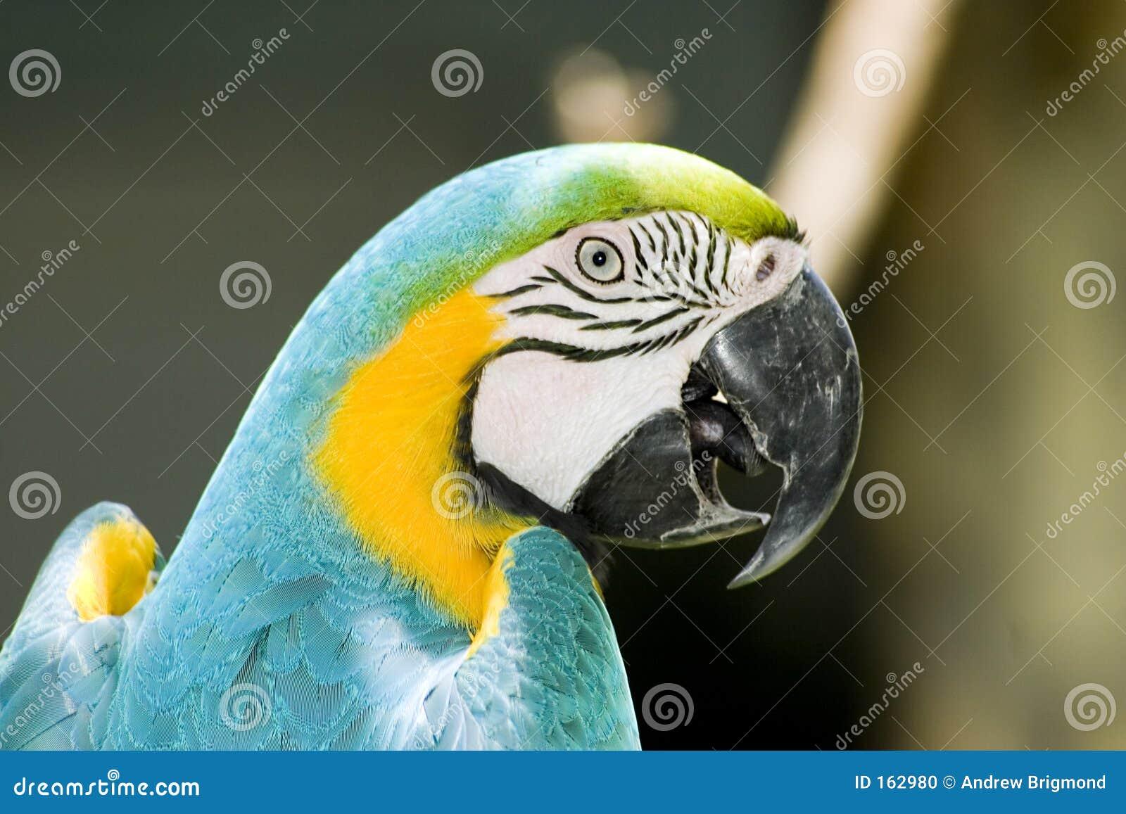Papageien-Kopf