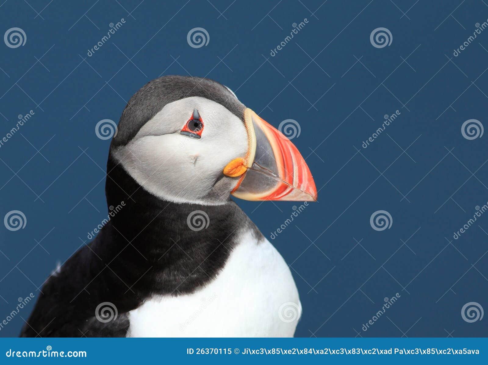 Papageientaucher - Fratercula arctica